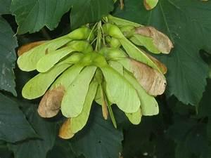 Ahorn Frucht Name : sycamore maple tree photo gallery ~ Frokenaadalensverden.com Haus und Dekorationen