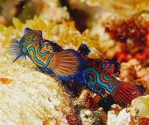 Poisson Aquarium Eau Chaude : poisson mandarin en images dinosoria ~ Mglfilm.com Idées de Décoration