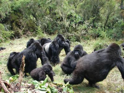october gorilla roundup dian fossey