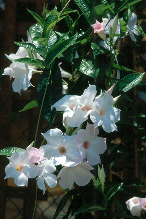 tropical flowering vines provide color  frost