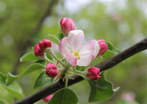 gratis afbeeldingen boom natuur tak bloesem fabriek