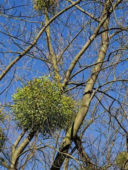Mistletoe Trees Plants Control Tree Flowers Gardeningknowhow