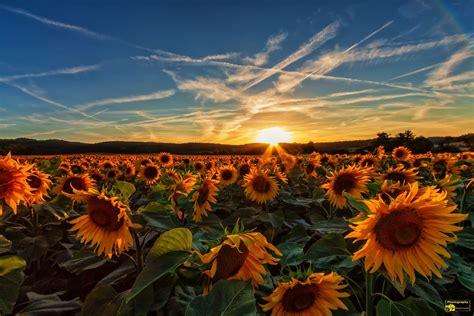 sonnenblumen sonnenuntergang ueber einen sonnenblumenfeld