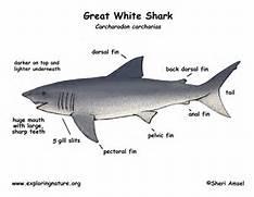 Great White Shark Eggs...