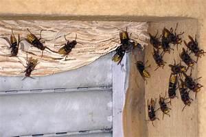 Fliegen Im Rolladenkasten : hornissen stadt baden baden ~ Lizthompson.info Haus und Dekorationen