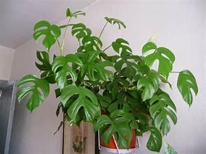 Grande Plante Verte : philodendron piccolo paris c t jardin ~ Premium-room.com Idées de Décoration