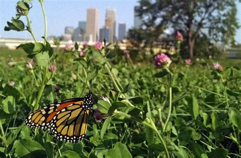 siege butterfly can the monarch highway help save a butterfly siege