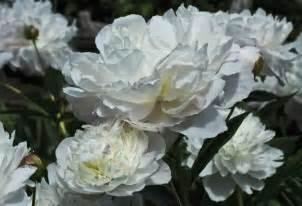 peony arrangement 5 best wedding flowers tahoe wedding