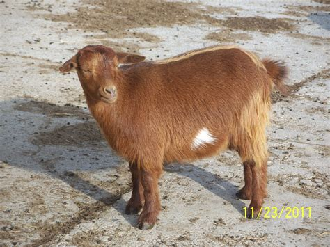 goat colors fainting goat colors