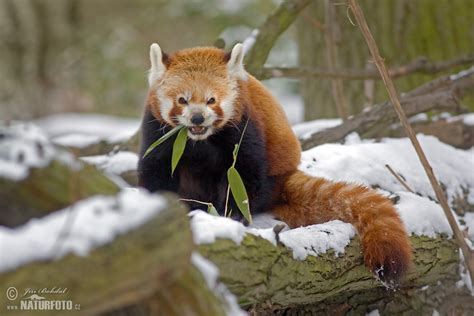 Red Panda Photos, Red Panda Images, Nature Wildlife ...