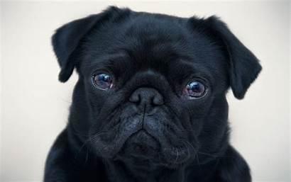 Pug Pugs Wallpapers Bulldog Puppy Face Puppies