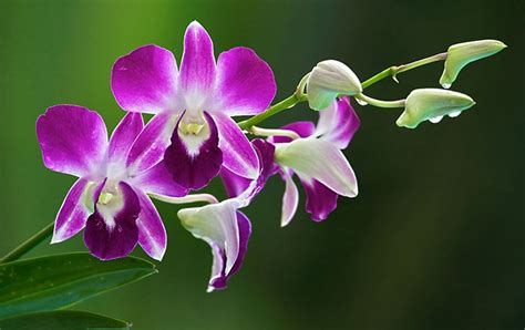 types of orchids botun thai orchids