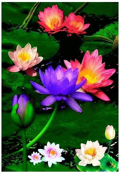 Compassion Without Lotus Living Attachment Colorful Ariyamagga