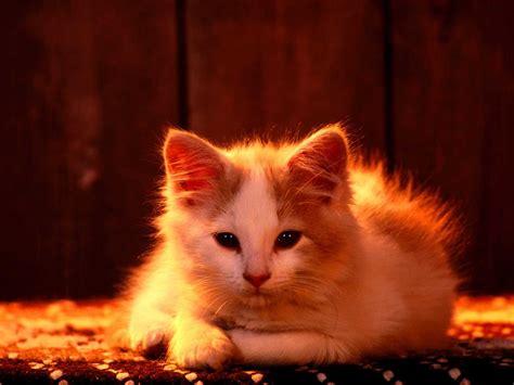 imagenes de gatosgatitosmascotaswallpapersfondoscats