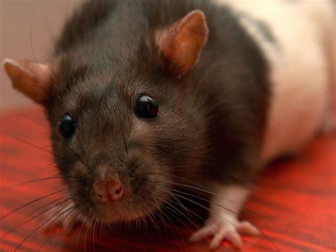 fressen marder ratten fressen katzen ratten wie was warum warum fressen katzen keine spitzmaus in diesem cafe leben