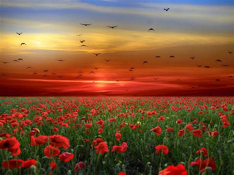 sunset sky red clouds birds field  poppies red flowers