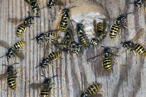 Was Essen Wespen : ein hauen und stechen die wespen sind los n ~ Frokenaadalensverden.com Haus und Dekorationen