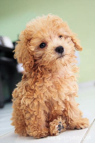 Apricot Poodle  Flickr P O Sharing
