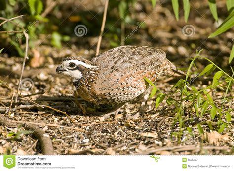 a quail feeding on seeds royalty free stock photography