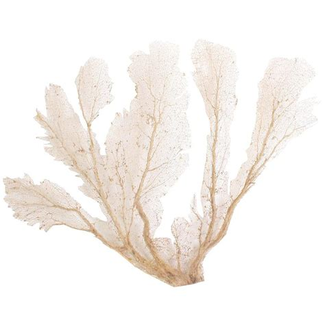 sea fans for sale huge wall mount cream sea fan at 1stdibs