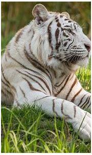 Download wallpapers Bengal tiger, 4k, white tiger ...