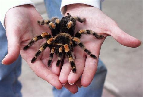 pet tarantula making a case for the tarantula overstuffed