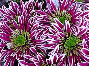 Jardinerie Truffaut Paris : bouquet de fleurs chrysanth mes jardinerie truffaut ~ Preciouscoupons.com Idées de Décoration