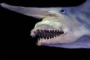 Goblin Shark - ThingLink