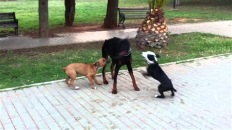 pit bulls attack  doberman youtube