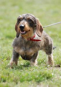 Dachshund Wire Haired Dog Breed Pictures | Dog Breed ...