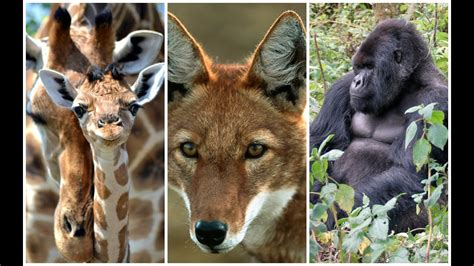 10 CRITICALLY Endangered Animals in Africa YouTube