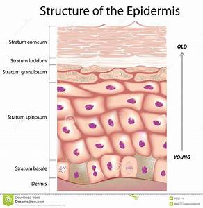 Epidermis of the skin stock vector. Illustration of ...