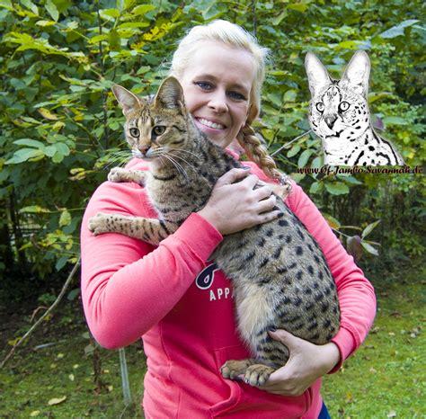 die savannah katze rassebeschreibung savannah cat