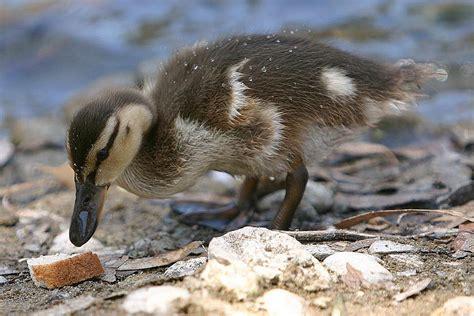 is bread bad for ducks is feeding ducks bread bad learn the facts