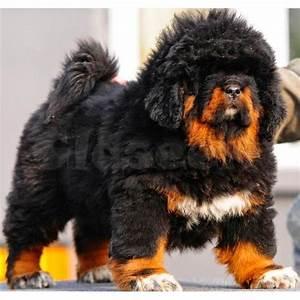 Tibetan Mastiff - The Best Biggest Expensive Dog Breed in ...