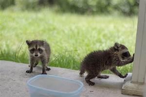 raccoon dog - Sök på Google | Animals | Pinterest ...