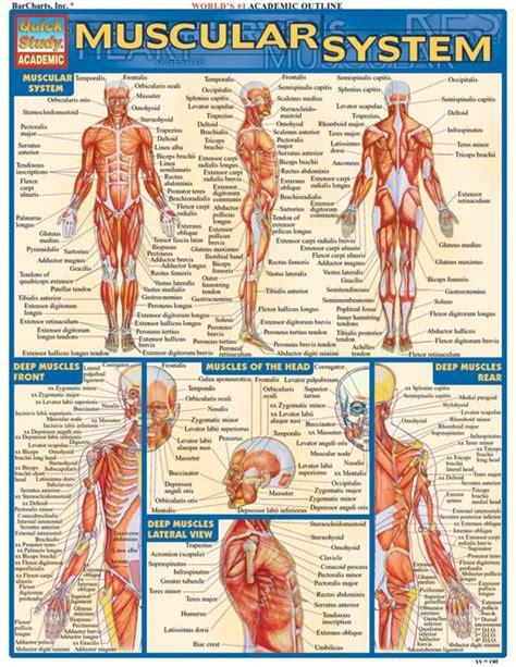 muscular system examville