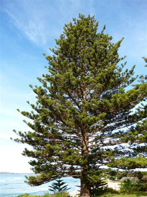 norfolk island pine norfolk island settlement first fleet fellowship victoria inc