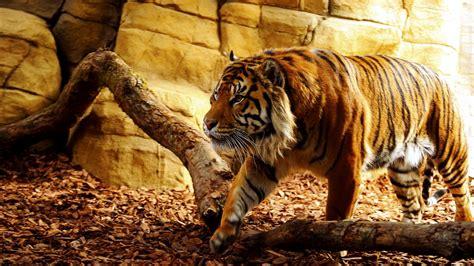 Best Tiger Wallpapers Desktop Mobile Backgrounds