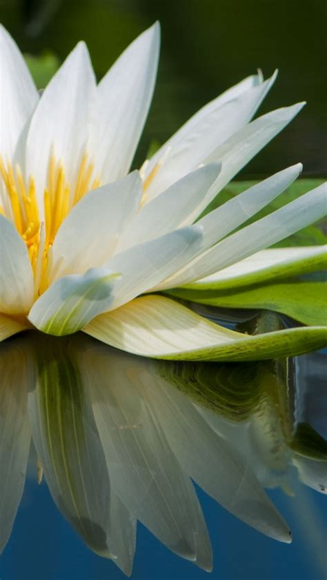 wallpaper lotus   wallpaper flowers lake river