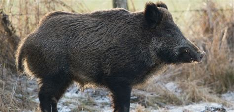 Oh, Great, More Than One Country Has Radioactive Boars