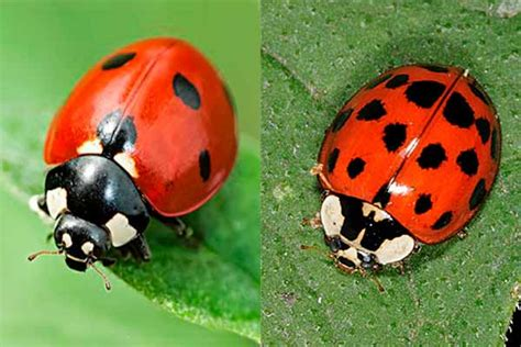 ladybug vs asian beetle how to get rid of ladybugs top 7 traps and killers
