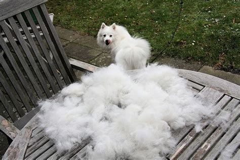 American Eskimo Shedding by Top 10 Heavy Shedding Dogs Inside Dogs World