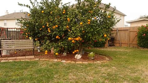 Best Backyard Fruit Trees - fruit for thought your essential guide to growing fruit trees