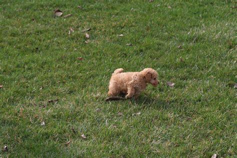 teacup poodle dog breed   teacup poodles