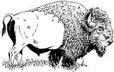 Buffalo Bison Coloring Pages American Printable Animal Drawings Animals Wood Drawing Herd Wildlife Sketches Burning Patterns Nature Bing Sheets Cartoon sketch template