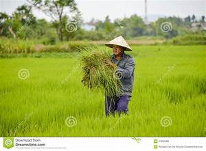 Asian Man In Rice Field. Editorial Stock Photo - Image ...