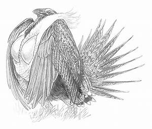 Sage Grouse Drawing