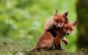 two-cute-baby-fox-brothers.jpg (960×601) | animal love ...
