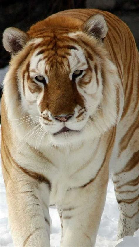 Beautiful Golden Tiger Grandes Felinos Leones Tigres